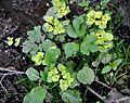 მჭამელა Chrysosplenium alternifolium Alternate-leaved Golden Saxifrage (2).JPG