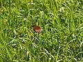 ツマグロヒョウモン (褄黒豹紋) (Indian Fritillary) (Argyreus hyperbius)-雄 (7254289994).jpg