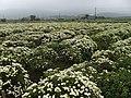 九湖杭菊田 Jiuhu Chrysanthemum Fields - panoramio (2).jpg