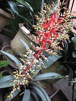 光萼荷屬 Aechmea servitensis -荷蘭園藝展 Venlo Floriade, Holland- (9255168748).jpg
