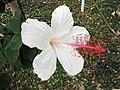 夏威夷白木槿 Hibiscus waimeae -日本大阪鮮花競放館 Osaka Sakuya Konohana Kan, Japan- (28254716068).jpg