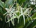 文殊蘭屬 Crinum xanthophyllum -日本大阪鮮花競放館 Osaka Sakuya Konohana Kan, Japan- (42081295312).jpg