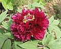 日本牡丹-烏龜錦 Paeonia suffruticosa 'Tortoise Brocade' -武漢東湖牡丹園 Wuhan, China- (12477932723).jpg