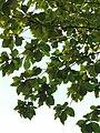 柚木 Tectona grandis 20200922091141 02.jpg