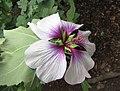 沿海花葵 Lavatera maritima -比利時國家植物園 Belgium National Botanic Garden- (9255189540).jpg