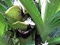紫露草屬 Tradescantia spathacea v concolor -倫敦植物園 Kew Gardens, London- (9229786838).jpg