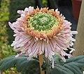 菊花-紫鳳明珠 Chrysanthemum morifolium 'Purple Phoenix Bright Pearl' -中山小欖菊花會 Xiaolan Chrysanthemum Show, China- (12049693654).jpg