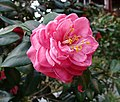 華東山茶-重瓣玫瑰型 Camellia japonica Double Rose Form -深圳園博園茶花展 Shenzhen Camellia Show, China- (9207629556).jpg