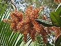 蘇里南蓼樹 Triplaris surinamensis -香港動植物公園 Hong Kong Botanical Garden- (9265721759).jpg