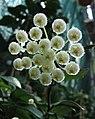 裂瓣毬蘭 Hoya lacunosa 'Bogor Java' -波蘭 Krakow Jagiellonian University Botanic Garden, Poland- (36724864106).jpg