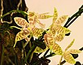 象形文字蝴蝶蘭 Phalaenopsis hieroglyphica -台南國際蘭展 Taiwan International Orchid Show- (39128283010).jpg