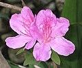 錦繡杜鵑 Rhododendron pulchrum -香港嘉道理農場 Kadoorie Farm, Hong Kong- (9200966312).jpg