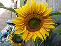 -2019-08-07 Sunflower (Helianthus annuus), Trimingham.JPG