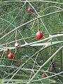 -365 asparagus berries (20396684304).jpg
