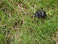 ... beetle -- dung beetle (4934186437).jpg