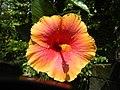 01735jfUnidentified Hibiscus cultivars Philippinesfvf 02.JPG