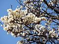 01 Handroanthus albus.jpg
