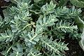 0 Euphorbia myrsinites - Yvoire.JPG