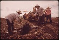 10,000 ACRES OF THE ISLAND OF HAWAII IS DEVOTED TO GROWING MACADAMIA NUTS, AND PRODUCTION IS INCREASING. AT THE ROYAL... - NARA - 554108.tif
