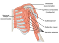 1119 Muscles that Move the Humerus c esp.png