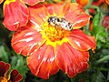 1317 - Zell am See - Bee on flower.JPG