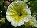 1561 - Salzburg - Haus Wartenberg - Flower.JPG