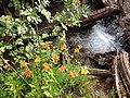 170808-FS-Tahoe-Lilies (36435718421).jpg