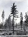 1935. Mature Pinus lambertiana tree in an old burned area. Jawbone Ranger District, Stanislaus National Forest, California. (38189551982).jpg