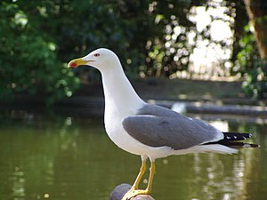 Lari - Atlantic yellow-legged gull