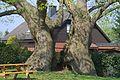2011-04-17 1000j Linde in Asbeck (NRW) 02.jpg