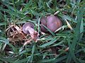 2012-05-09 Clitocybe nuda (Fr.) H.E. Bigelow & A.H. Sm 217559.jpg