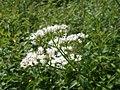 20120629Valeriana officinalis3.jpg