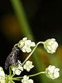 2013 06 03 0341 Ottrau (Platystomatidae) Platystoma seminationis (10541402563).jpg