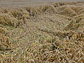 2014 Wheat field flattened by rain.jpg