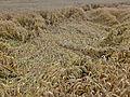 2014 Wheat field flattened by rain.jpg