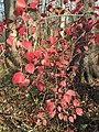 2015-11-15 09 30 47 Arrowwood foliage during autumn in the woodlands along the West Branch Shabakunk Creek in Ewing, New Jersey.jpg