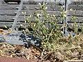 20170624Arenaria serpyllifolia2.jpg