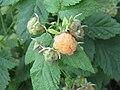 2018-06-18 (103) Rubus idaeus (raspberry) at Bichlhäusl in Frankenfels, Austria.jpg