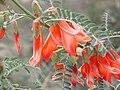 2018-08-05 Sutherlandia frutescens.jpg