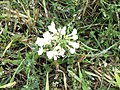 2018-09-12 Unidentified Flower, Trimingham (2).JPG