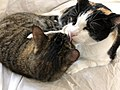 2020-02-07 12 48 53 A Calico cat licking a Tabby cat in the Franklin Farm section of Oak Hill, Fairfax County, Virginia.jpg