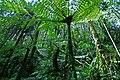 21 Cyathea Papua Rain Forest Papua-Indonesia.jpg