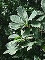3922-Quercus x turneri 'Pseudoturneri'-Arb.Brno-10.12.JPG