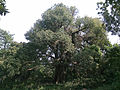 400 years old Unknown tree 3.jpg