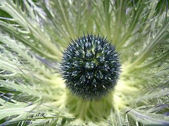 Eryngium - Eryngium alpinum