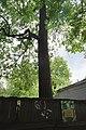 68-104-5006 Тюльпанове дерево Кам'янець-Подільський (3).jpg