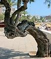 902 Baum an der Strandpromenade von Cala Millor.jpg