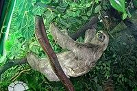9092 - Milano - Museo storia naturale - Diorama - Bradypus trydactilus - Foto Giovanni Dall'Orto 22-Apr-2007.jpg