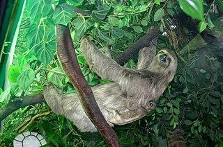 Sloth moth Species of moth