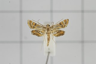 <i>Eristena</i> Genus of moths